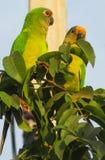 Small green parrots on tree royalty free stock photos