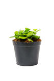 Small green plant in a black pot. (isolated Stock Photography