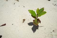Small green plant grow in soft sand beach Royalty Free Stock Photo