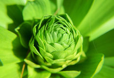 Small green plant growing and developing its bud Stock Photography