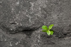 Small green plant growing between stones. Royalty Free Stock Photography