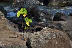 Small green plant grows in hostile environment. Small green plant survives in a hostile environment on barren rocks next to the sea in landscape format stock photography