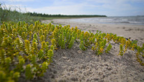 Small green plants on the beach.GN Stock Photo