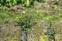 Small plants growing on a brick wall royalty free stock photography