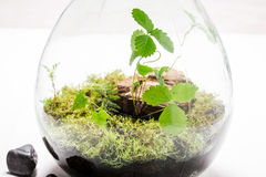 Small green plants in a jar with self ecosystem. On white table Royalty Free Stock Photo