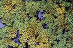 Small green plants Salvinia cucullata float on the water stock image