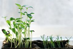Small green plants on the window and copyspace Royalty Free Stock Images