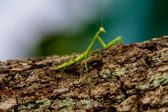 A Small Green Praying Mantis Perched on Bark Royalty Free Stock Photos
