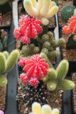 Small green, red, yellow cactus selective focus in flowerpot houseplant at the farm different cactus royalty free stock photography