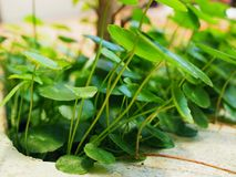 Small land lotus Indian pennywort plant bush corner Royalty Free Stock Images