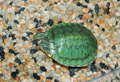 A small, green, sea turtle. Lies on yellow stones and basks in the sun Royalty Free Stock Images