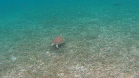 Small Green Sea Turtle Swimming over Grass stock video