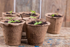 Small green seedings in round pots. From turf on wooden boards background Stock Photo