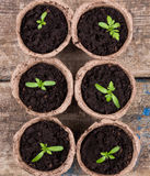 Small green seedings in round pots. From turf on wooden boards background Royalty Free Stock Images