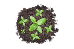 Small green seedlings growing from heap of soil Stock Image