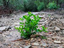 A small green shrub in the middle of a dirt forest path surrounded by lush green vegetation in Robertson, South Africa. A small green shrub in the middle of a Royalty Free Stock Image