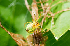 A small green spider. Cucumber green spider - Araniella cucurbitina on the web waits for a food. This spider is not poisonous for human Royalty Free Stock Photography