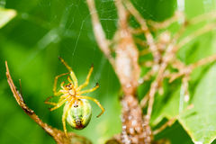 A small green spider in web. A small green spider cucumber green spider - Araniella cucurbitina on the web waits for a food. This spider is not poisonous for Royalty Free Stock Images