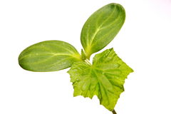 Small green sprout Royalty Free Stock Photo