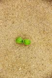 A small green sprout growing out of yellow sand on beach. A small green sprout growing out of yellow sand on the beach Royalty Free Stock Image