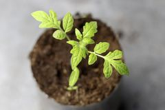 Small green sprout. macro photography a future tomato appeared from the ground.  royalty free stock images