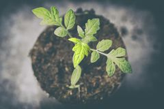 Small green sprout. macro photography a future tomato appeared from the ground.  stock photography