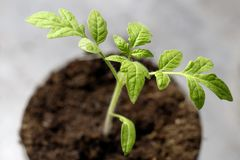 Small green sprout. macro photography a future tomato appeared from the ground. Background woman floral hand food nature leaf spring garden organic plant soil royalty free stock image