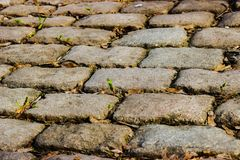 A small green sprout makes its way through the old stone pavement no matter what. royalty free stock image