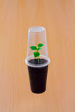 Small green sprout under plastic cup. Tiny fragile sprout protected by plastic cup Royalty Free Stock Photo