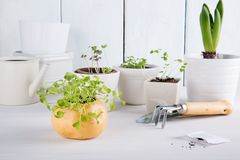 Small green sprouts of arugula royalty free stock photos
