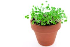 Small green sprouts in ceramic pot Stock Images
