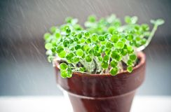 Small green sprouts in ceramic pot. time of watering Royalty Free Stock Photos