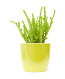 Small green succulent. Pot-plant in a yellow pot, isolated on white background royalty free stock photo