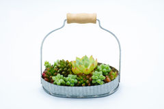 Small green succulent plant in basket  white background Royalty Free Stock Images