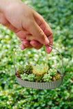 Small green succulent plant in basket on woman hand background , close up Royalty Free Stock Image