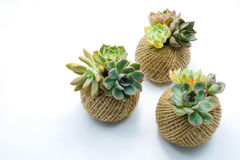Small green succulent plant in rope ball pot isolated white back Stock Photos