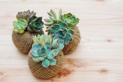 Small green succulent plant in rope ball pot on wooden background. Cute small green succulent plant in rope ball pot on wooden background royalty free stock image
