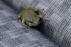 A Small Green Toad Relaxing On A Lawn Chair Royalty Free Stock Photography