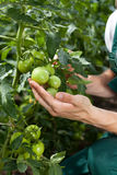 Small green tomatoes Royalty Free Stock Photos