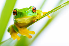 Small green tree frog holding on the palm tree. Small green tree frog holding on to palm tree Stock Images