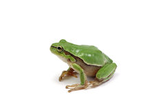 Small green tree frog. Isolated on white background Stock Images