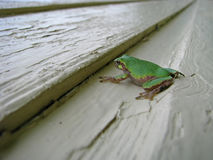 Small green tree frog. A small green tree frog rests on a painted wooden surface Royalty Free Stock Photo