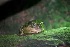 A small green tree frog. The small green tree frog is sat on a moss covered rock royalty free stock photography