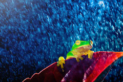Small green tree frog sitting on red leaf in rain Stock Photos