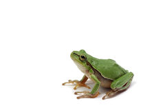 Small green tree frog. On white background Stock Photography