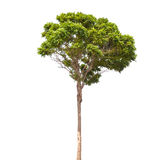 Small green tree isolated on white Royalty Free Stock Photography