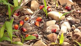 Small green tree Palm sprout plants growing in forest mud ecology concept. And hope of environmental preservation stock video