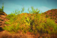 Small green tree in the Sonoran Desert. Small green tree with bright blue sky behind it in the Sonoran Desert in Arizona, USA Royalty Free Stock Image