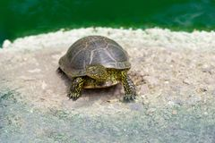 Small turtle in a zoo. Small green turtle near the pond in a zoo royalty free stock photos