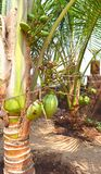 Small Green Unripe Coconuts on a Dwarf Coconut Tree - Cocos Nucifera Nana. This is a photograph of small green unripe coconuts hanging on a small coconut palm Royalty Free Stock Photos